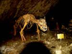 Der Höhlenbär von Rübeland